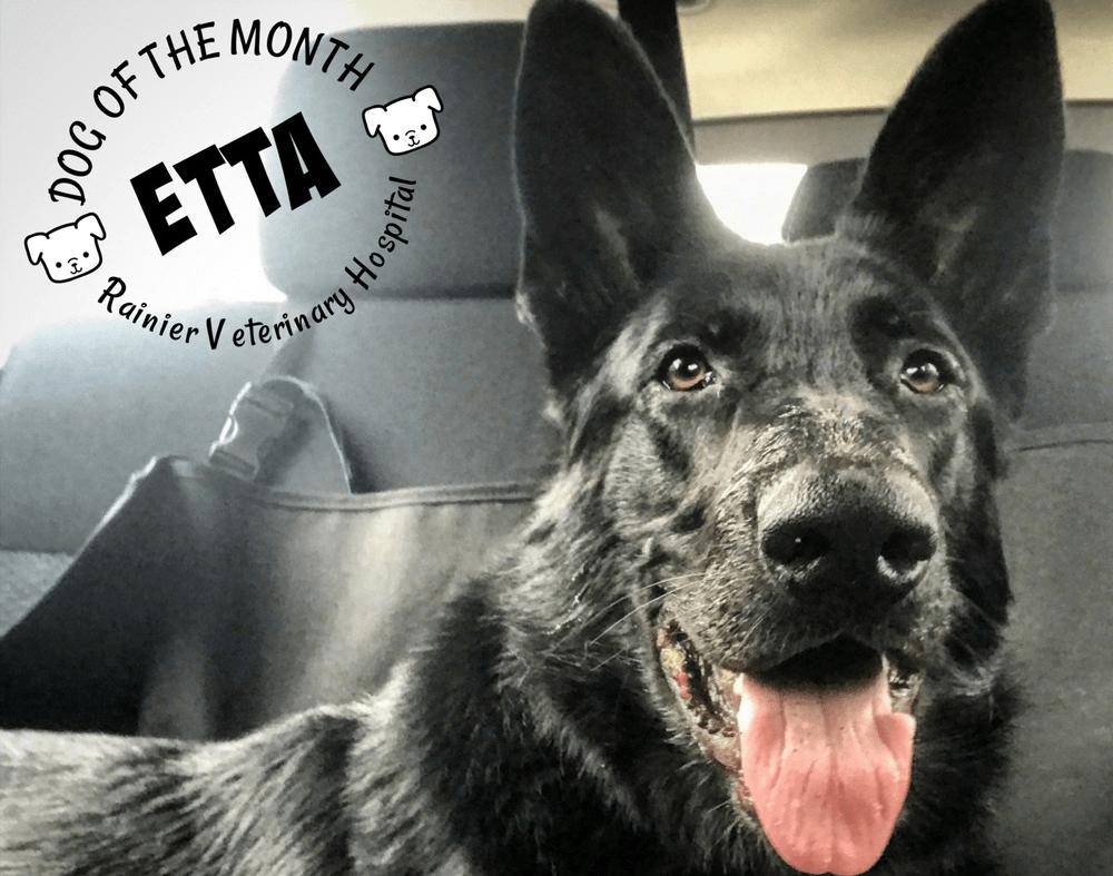 Rainier Veterinary Hospital Dog of the Month, November 2017: Etta