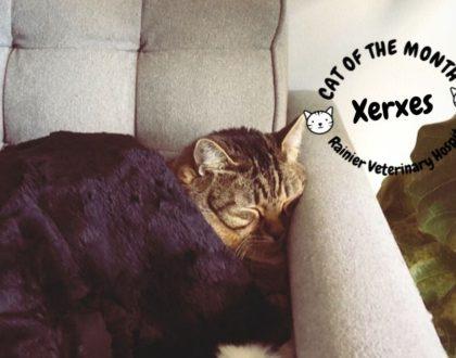 Rainier Veterinary Hospital Cat of the Month, September 2019: Xerxes